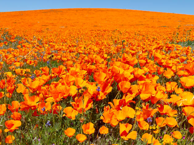 Poppies are blooming in Antelope Valley