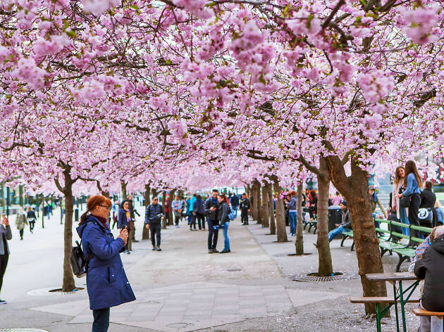 Cherry blossom in Stockholm, Sweden
