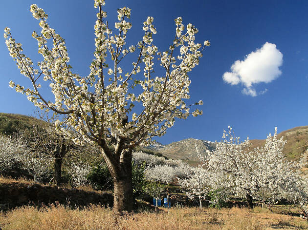 Cherry blossom in Jerte Valley, Spain