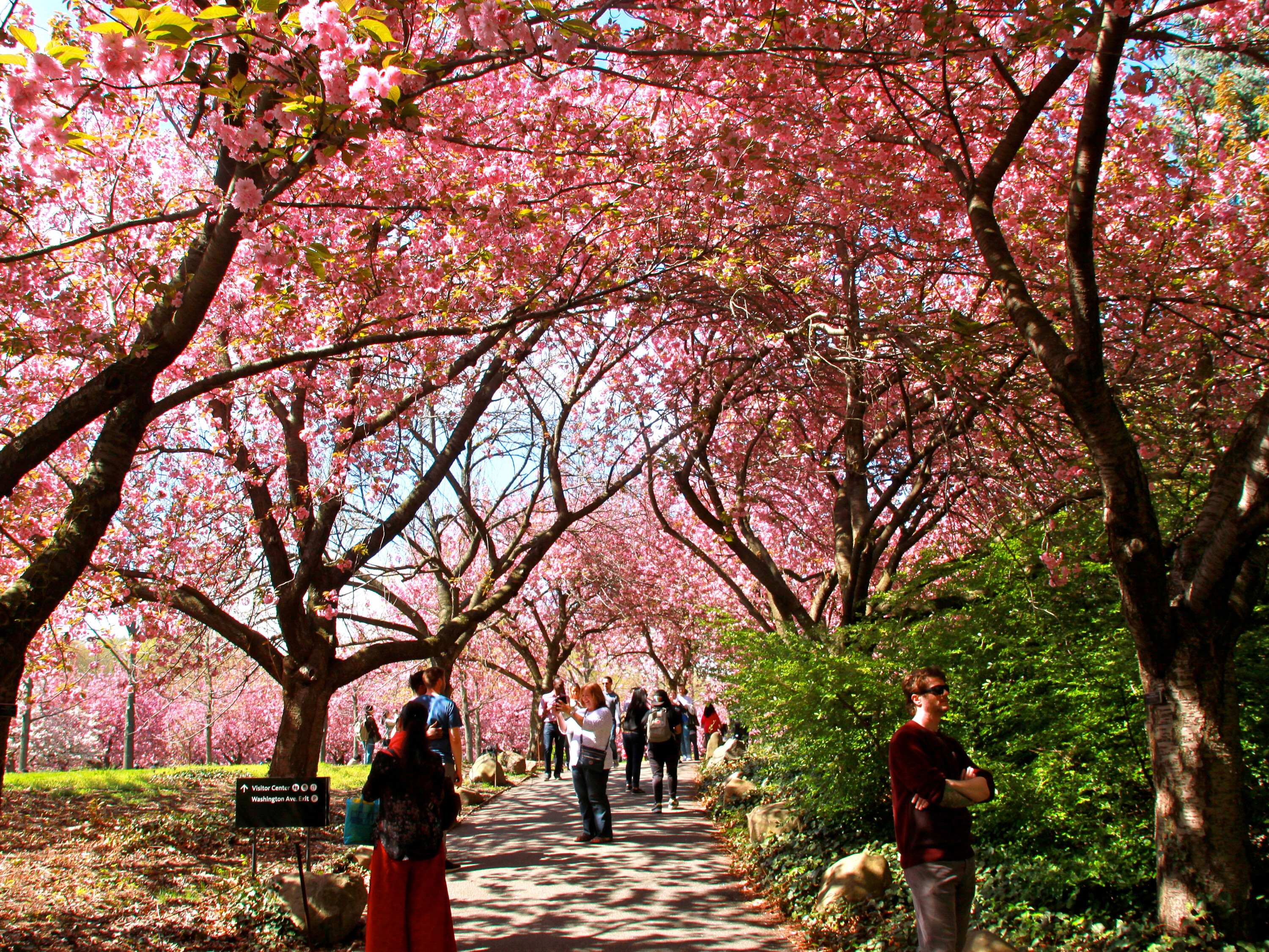 Cherry blossom in New York, USA