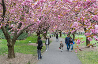 7 ways to celebrate cherry blossom season with kids in NYC