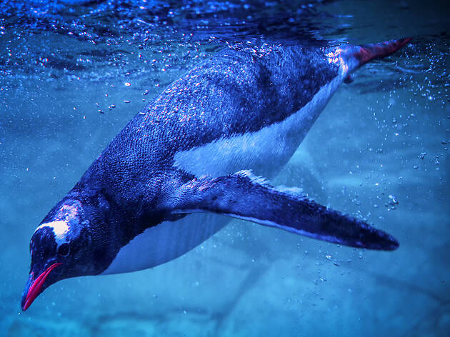 A penguine diving under the water
