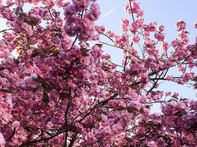 Les meilleurs lieux pour voir des cerisiers en fleurs à Paris