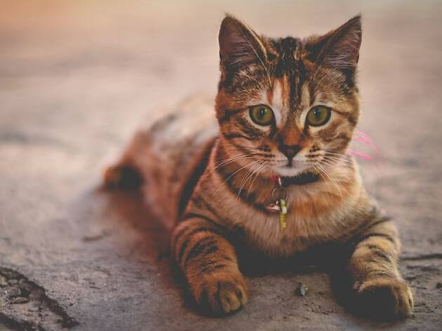 A tabby cat laying down and facing the camera