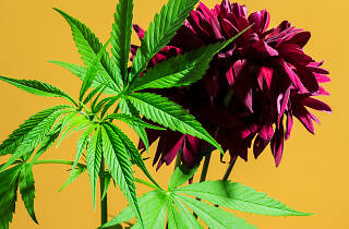 Marihuana en la CDMX
