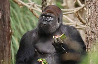 Kumbuka Gorilla at ZSL London Zoo