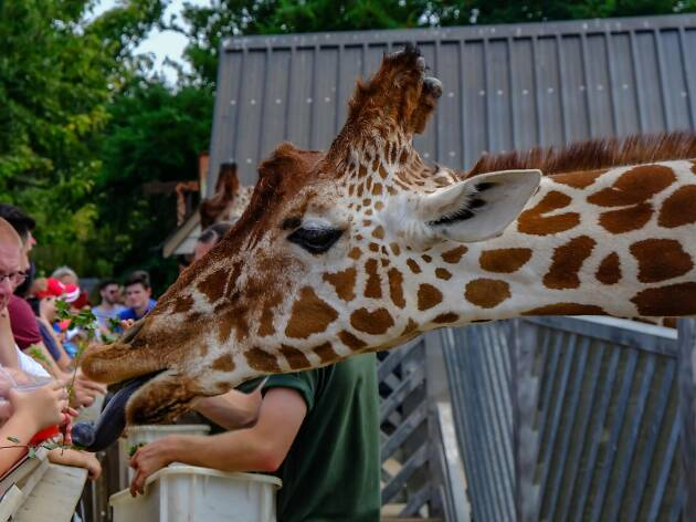 Giraffe at Colchester Zoo