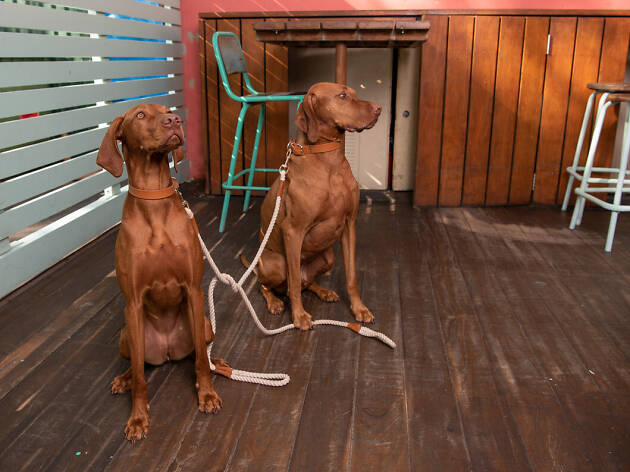 Two brown hounds sitting on floorboards.