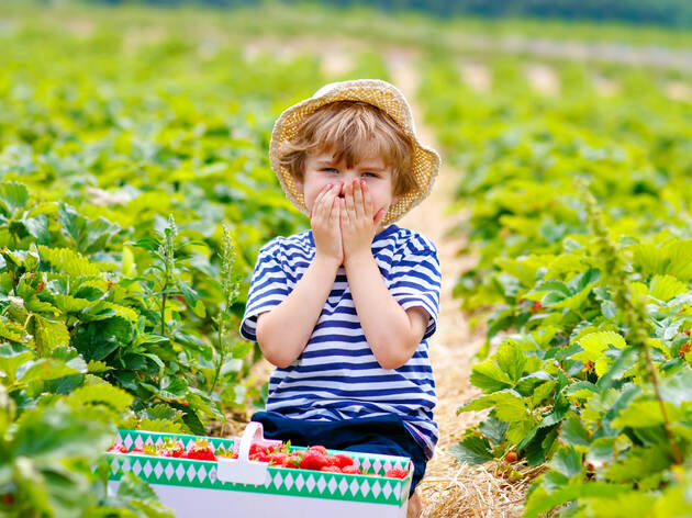 The best strawberry picking in New York for families