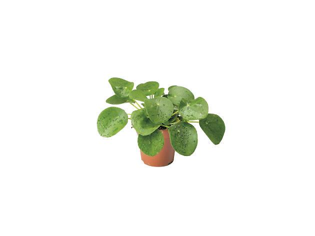 Pilea-peperomioides