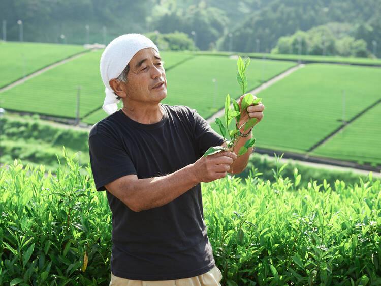 守り継がれた茶草場で茶を摘む。