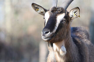 Dozens of goats will be roaming Riverside Park this summer