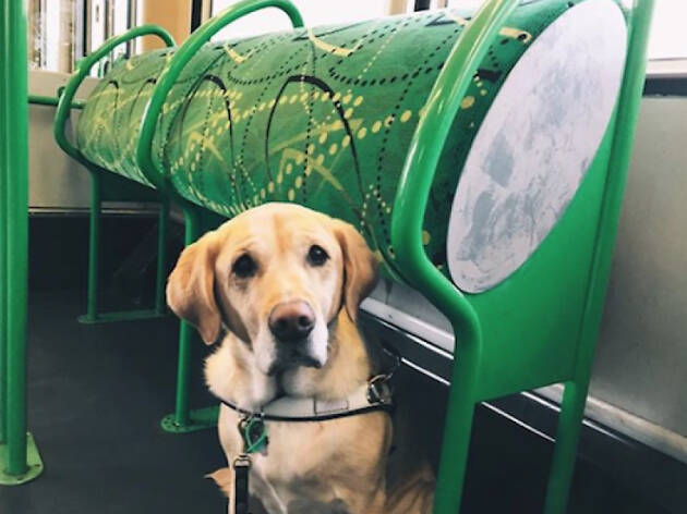 Guide dog on a tram