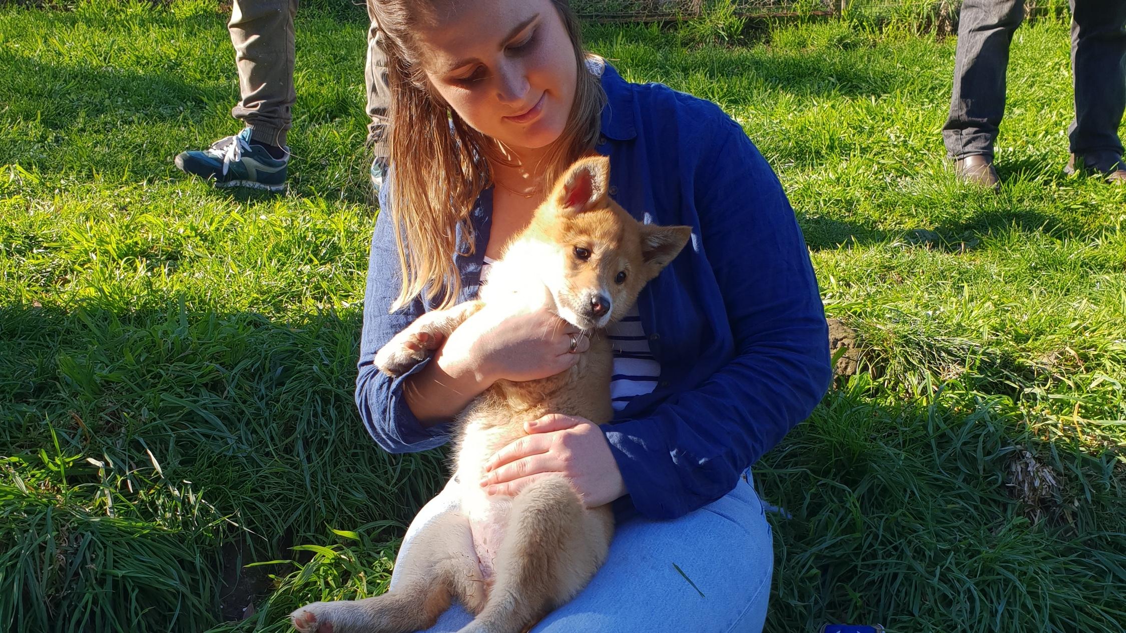 Dingo encounters