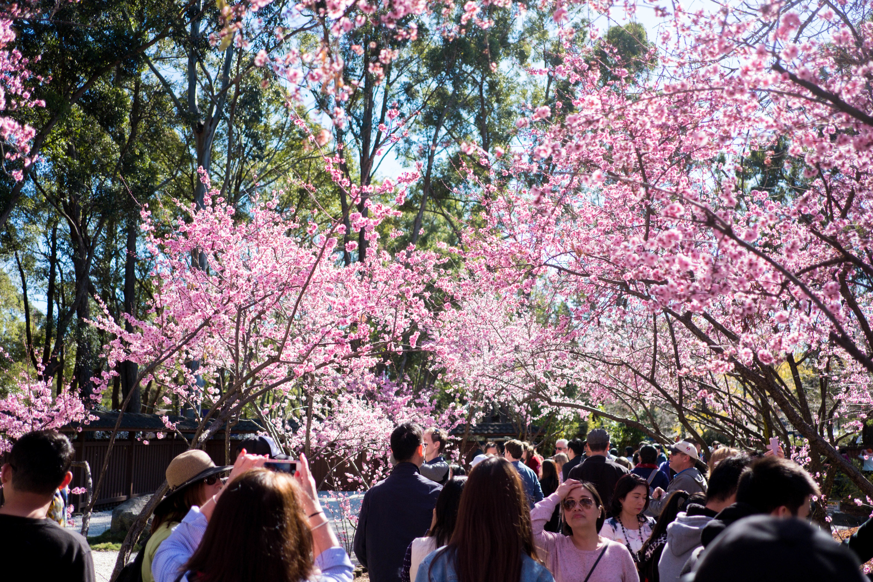 People walking under cherry blossom at the Sydney Cherry Blossom Festival