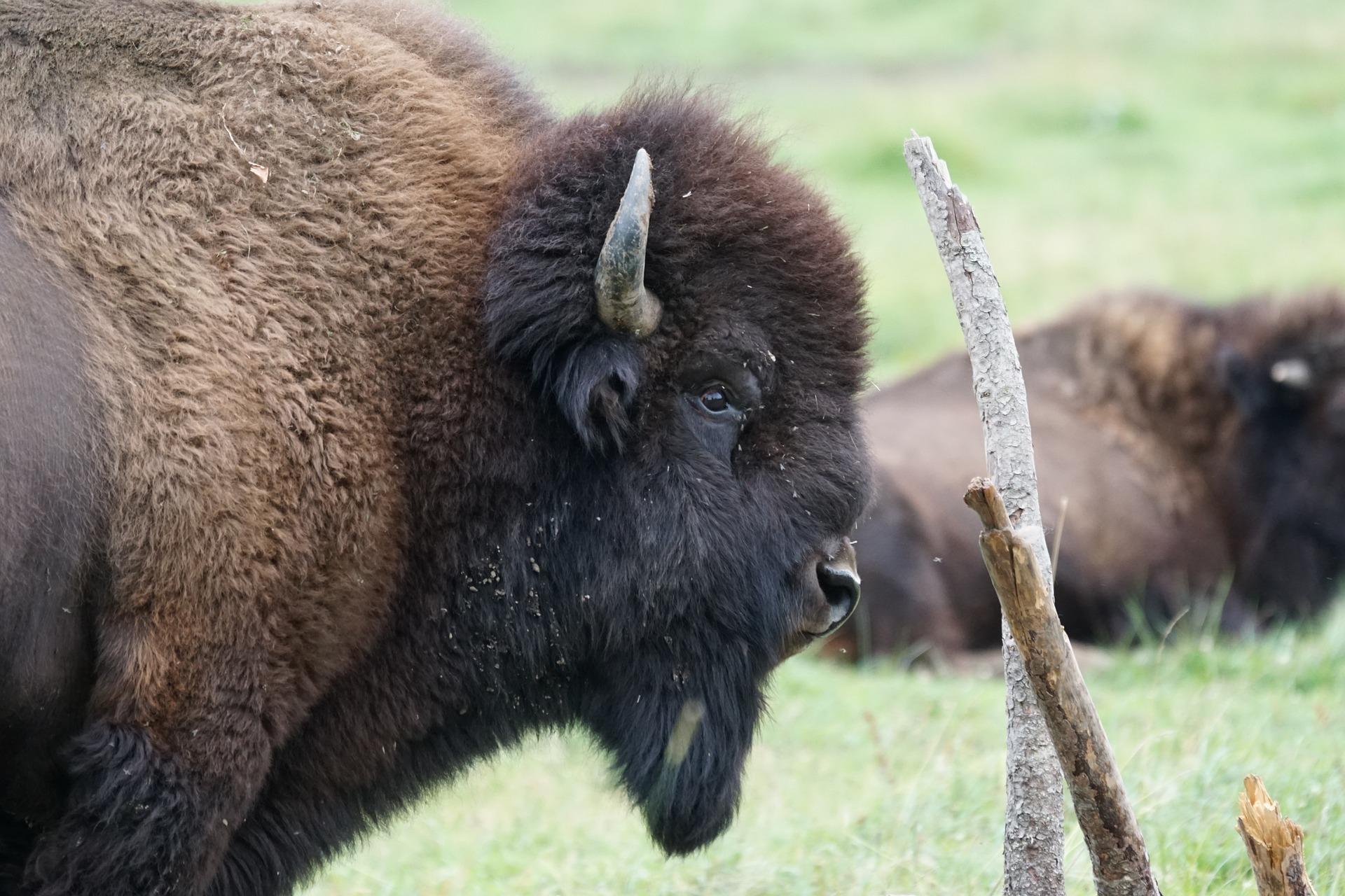 bisonte europeu