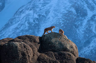(Foto: Wild Pumas of Patagonia © Ingo Arndt/Cortesía World Press Photo)