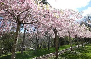 Blossom trees at the Leura Gardens Festival.