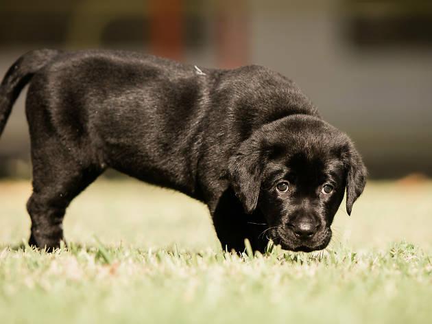 A black labrador puppy on grass