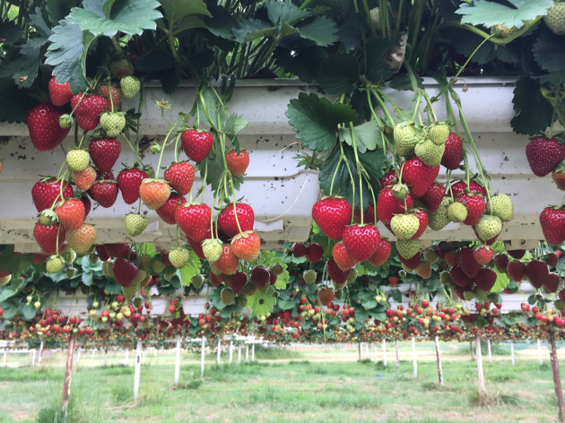 London's best pick-your-own fruit and vegetable farms