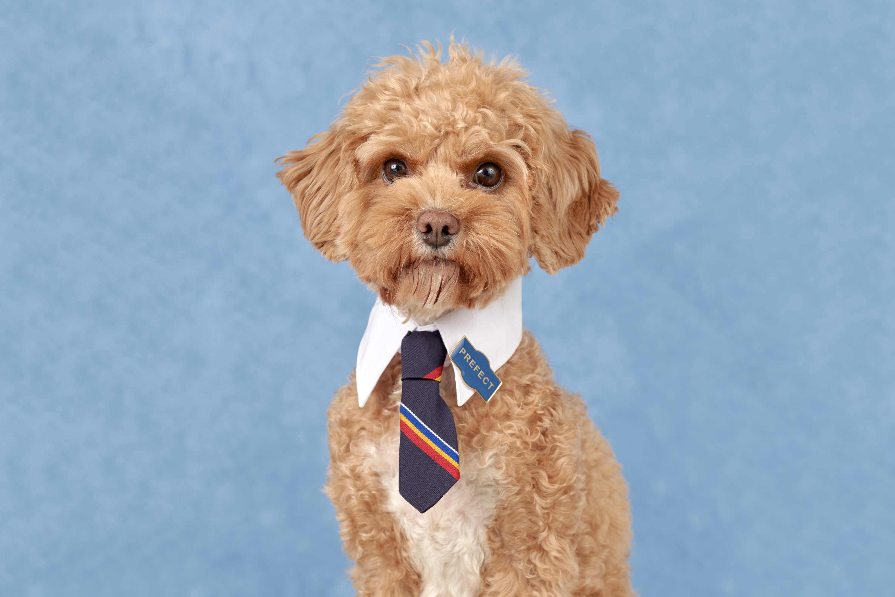 A beautiful, golden poodle-cross dog wearing a tie