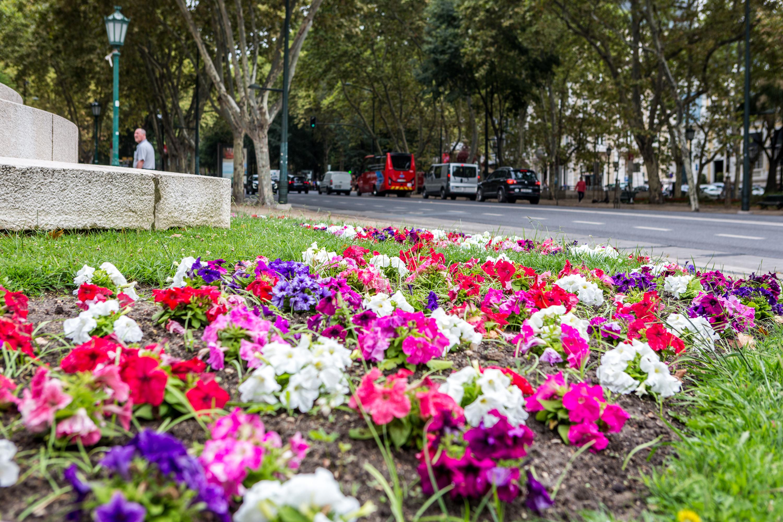 Uma sálvia a florir na Avenida da Liberdade