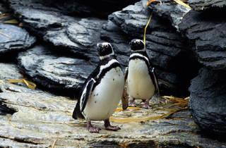 Pinguins no Oceanário