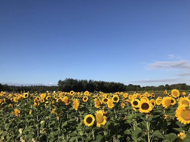 Find sunflower fields near London