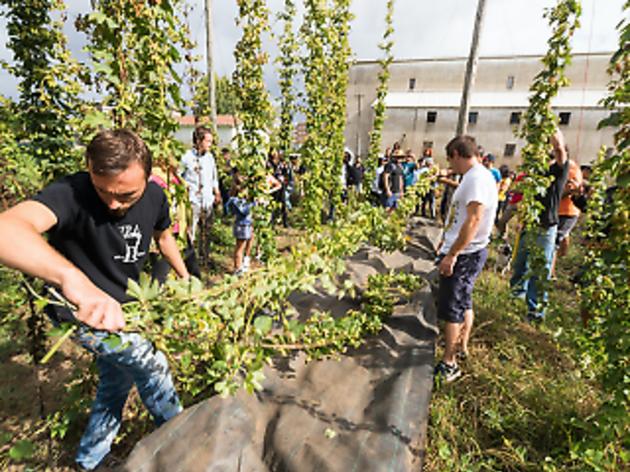 Entre 13 e 15 de Setembro, tem lugar a apanha do lúpulo no Letra Harvest Fest