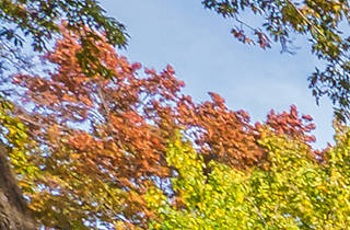 Harvard Yard fall foliage