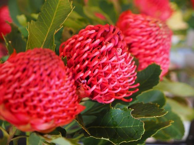 Red waratah flowers on a bush.