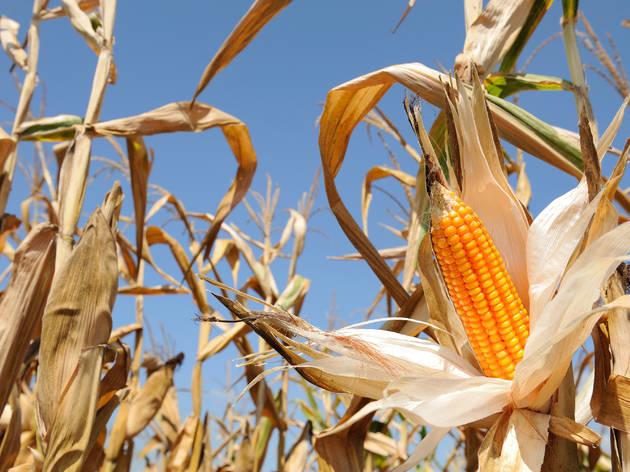 Corn mazes NY