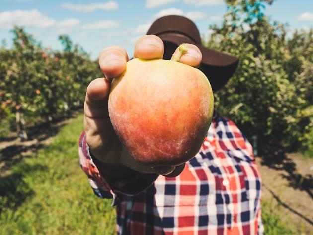 Apple Picking / Faire de la cueillette de pommes
