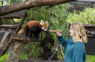 Woman feeding a red panda