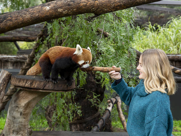 Red Panda encounters