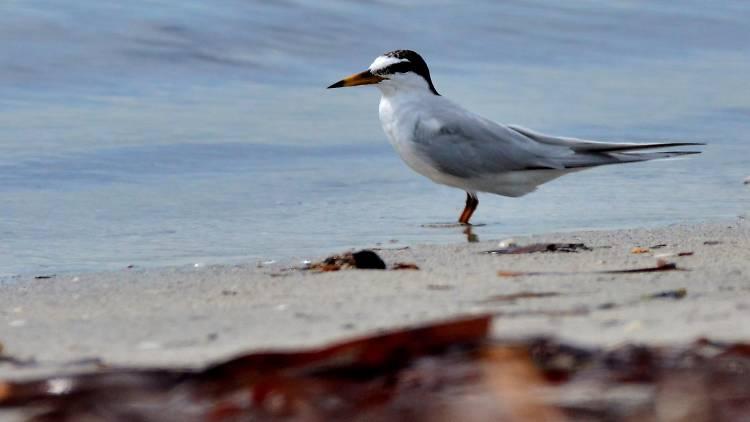 Little tern