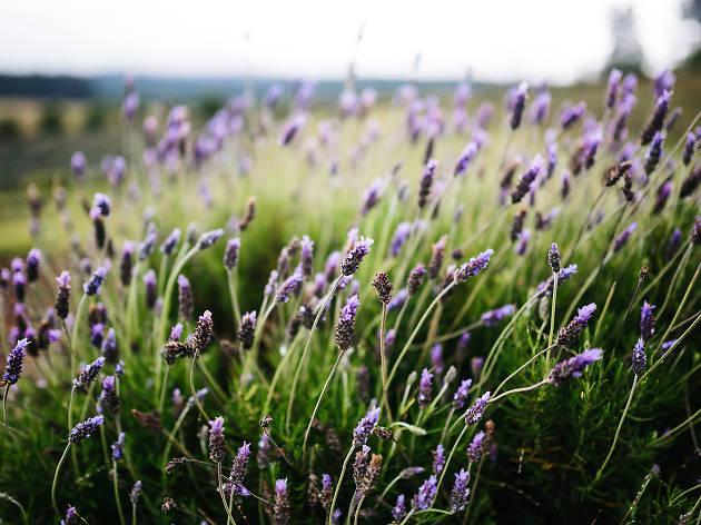 Ali'i Kula Lavender
