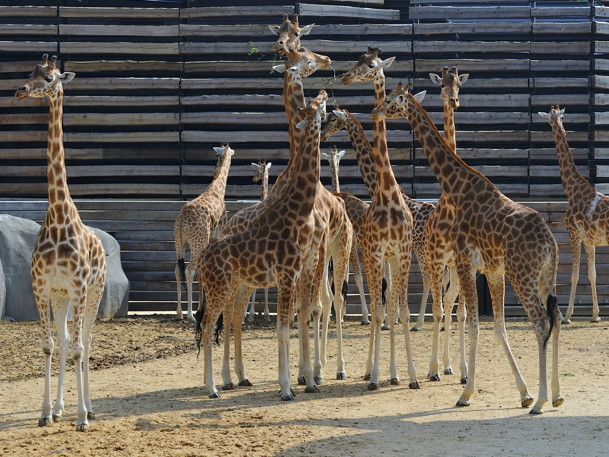 Giraffes at the zoo in the Bois de Vincennes