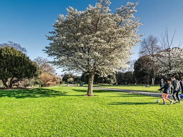 A flowering tree in Phoenix Park, Dublin