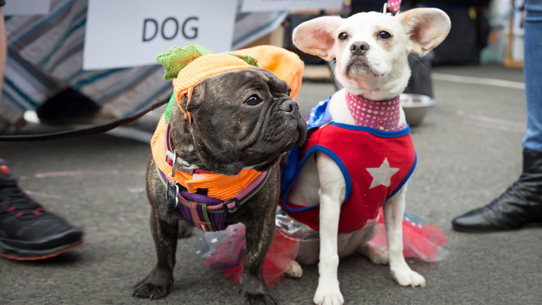 Dogs dressed up in Halloween costumes for a Pound Paws party at Gymea Hotel..