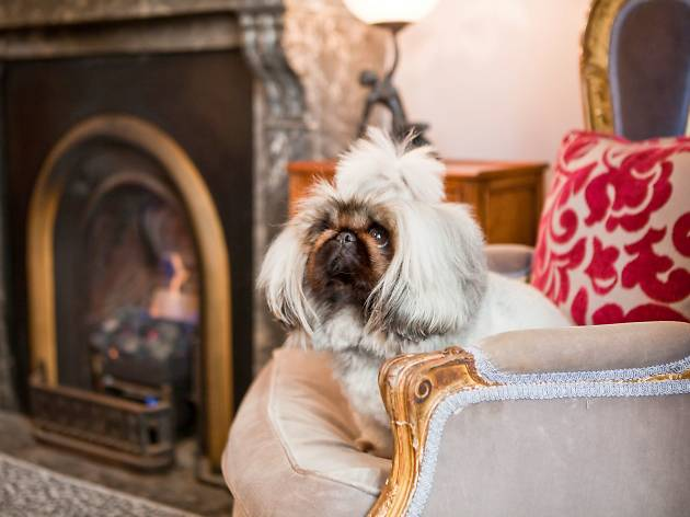 A fancy, fluffy dog sitting by the fire at the Hughenden Hotel.