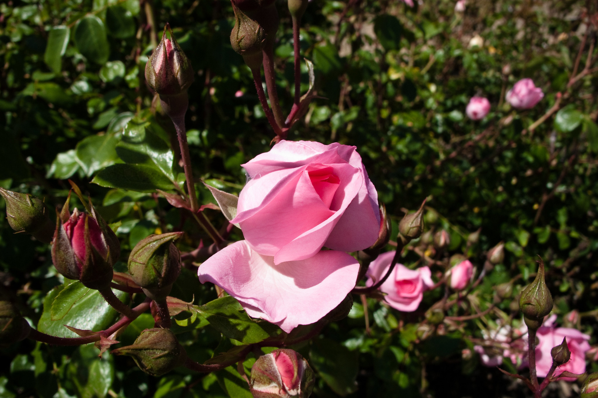 Heritage Rose Garden San Jose