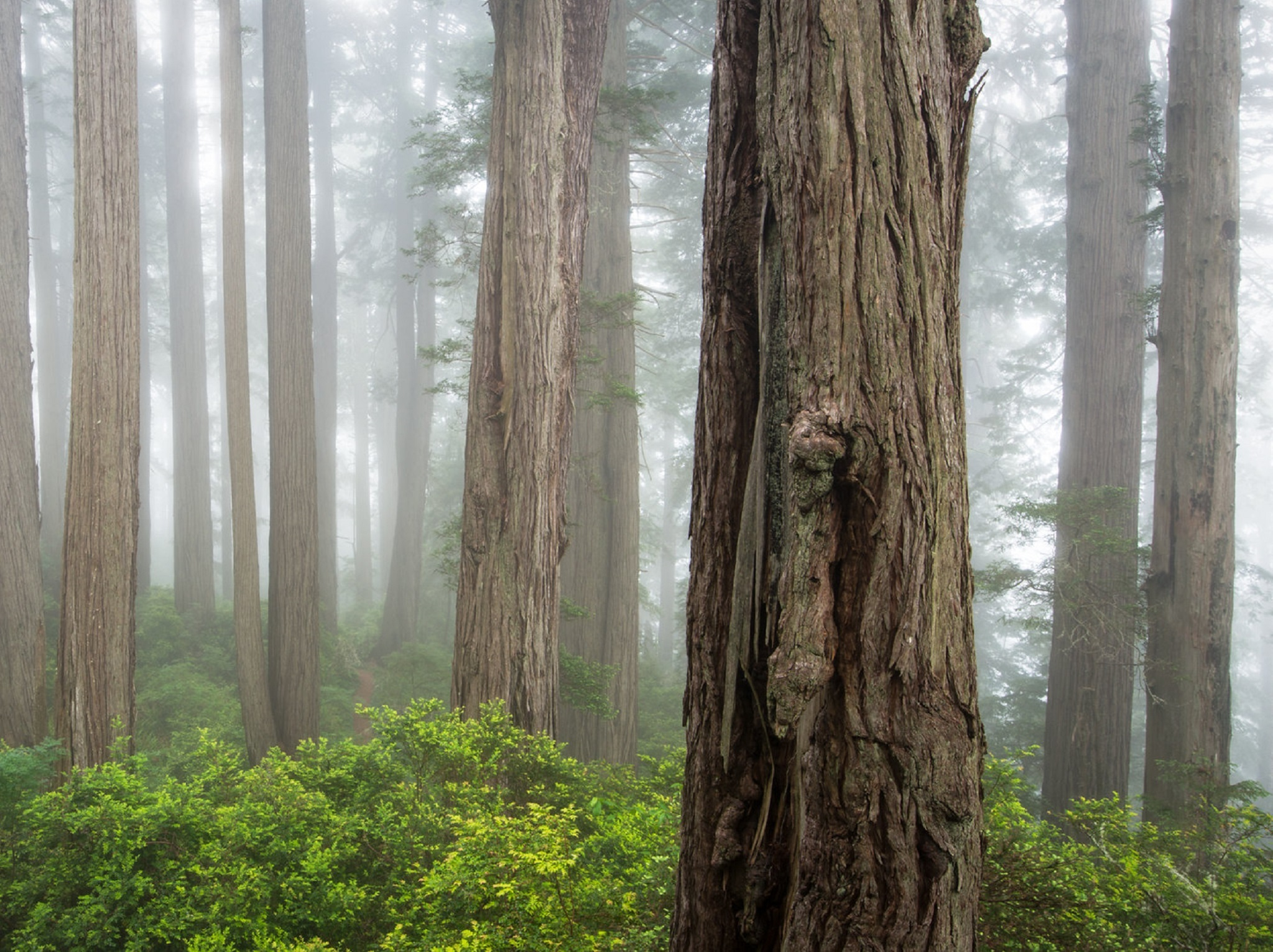 Redwood trees in the fog