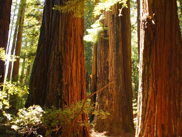 Redwood trees in the sun