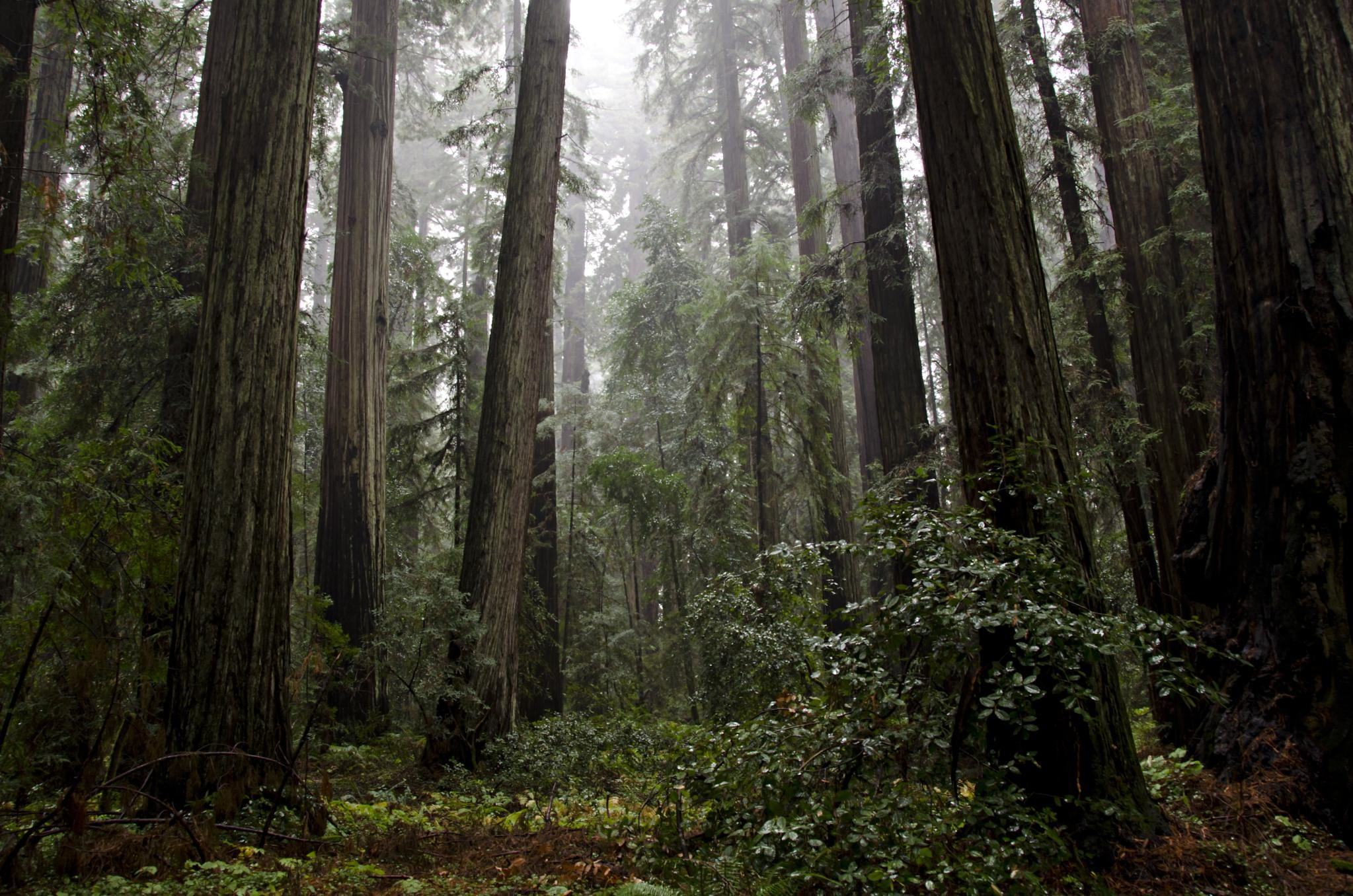 Redwood trees in the mist