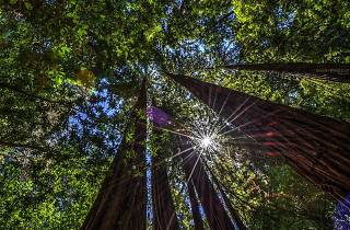The tops of redwood trees in the sun