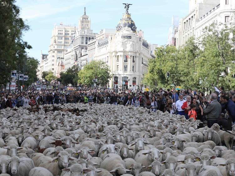 Las ovejas volverán a pasar por el centro de Madrid
