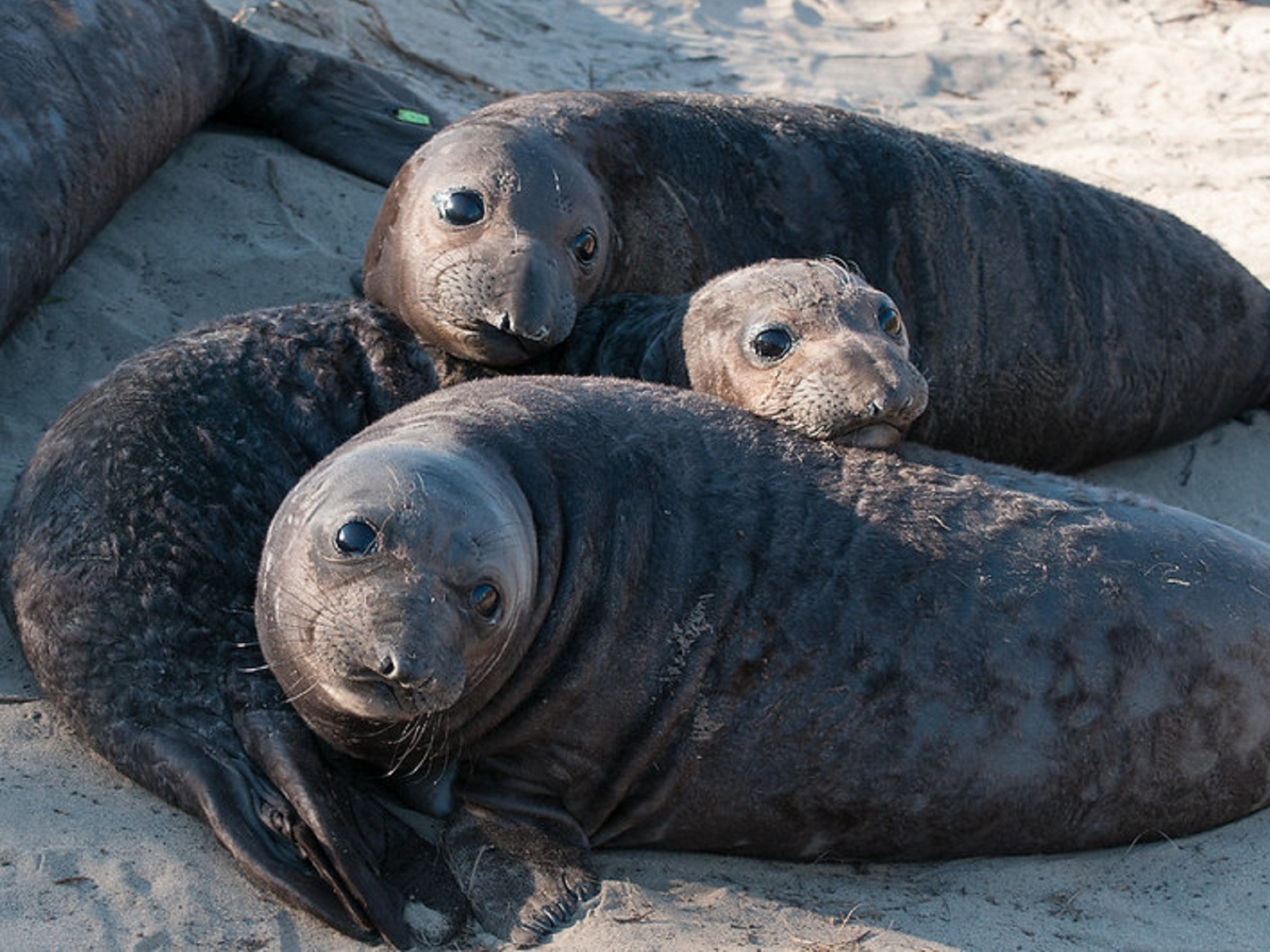 Three elephant seal pups on the beach
