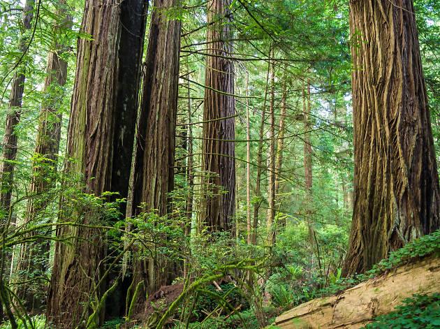 Redwoods in Jedediah Smith State Park, California