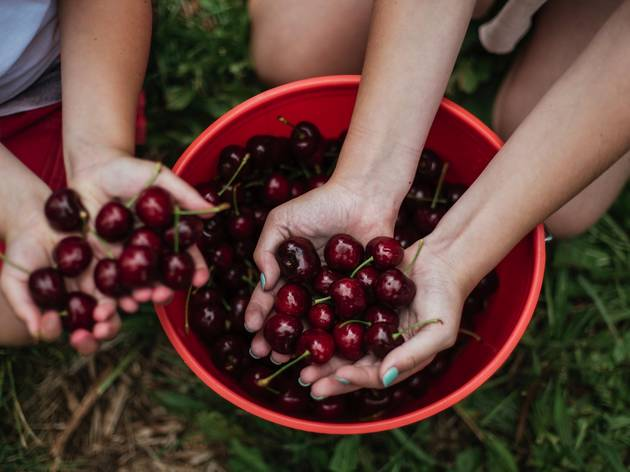 Children picking cherries at Cherry Hill Pick Your Own